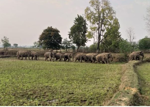 हाथी मन ह मैनपाट इलाका म दिस धमक, दहशत म ग्रामीण